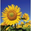 Sunflower - Giant Mammoth