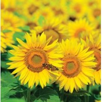 Sunflower - Sunspot, Dwarf, Helianthus annuus