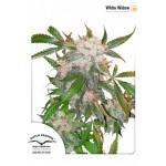 Cannabis - White Widow