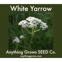 Yarrow - White - Achillea
