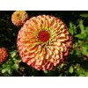 Zinnia - Queen Lime Orange