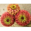Zinnia - Queen Lime Red