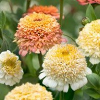 Zinnia - Peaches & Cream