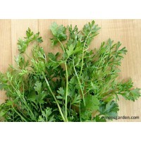Herb - Cilantro - Bac Lieu ~ Vietnamese Heirloom