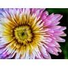 Dandelion - Pink