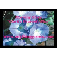 Morning Glory - Heavenly Blue - Ipomoea purpurea,