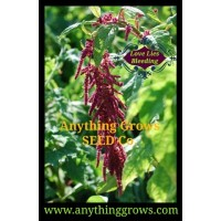 Amaranth - Love Lies Bleeding, Amaranthus caudatus