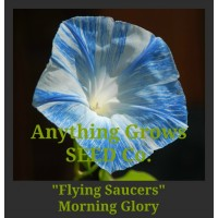 Morning Glory - Flying Saucers - Ipomoea purpurea,