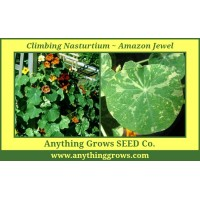 Nasturtium - Climbing - Amazon Jewel