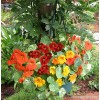 Nasturtium - Container Little Firebirds , Tropaeolum majus