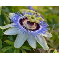 Passion Flower - Passiflora Caerulea