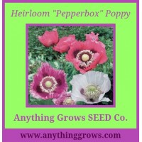 Poppy - Pepperbox Breadseed, Papaver somniferum