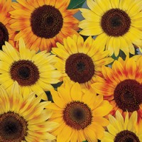 Sunflower - Music Box Dwarf, Helianthus annuus