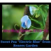 Sweet Pea - Electric Blue Species, Lathyrus sativus azureus