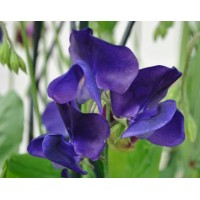Sweet Pea - Royal Blue