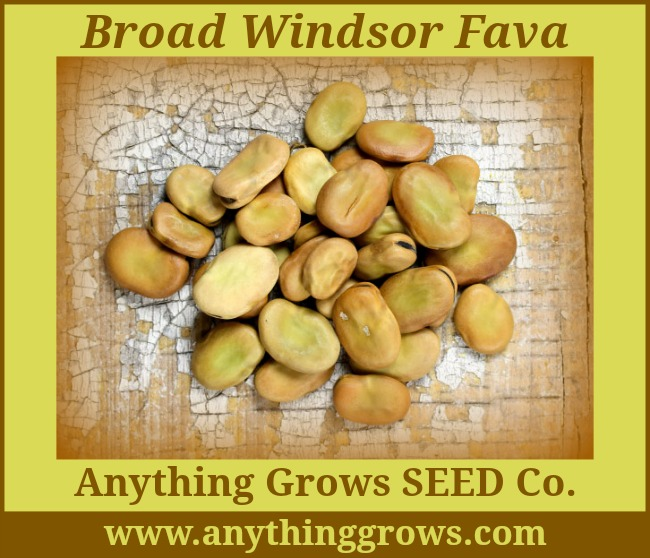 Broad Windsor Fava